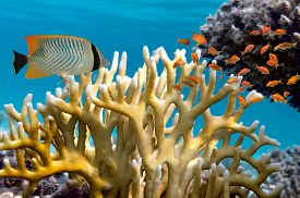 pic of fire coral  - Millepora fire coral - JPG