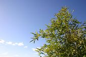 pic of bamboo forest  - beautiful green bamboo in blue sky - JPG