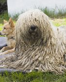pic of sheep-dog  - komondor a hungarian sheep - JPG