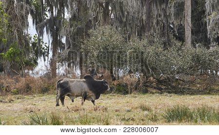 Brahaman Bull Walking In Open