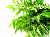 Bright Green Curry Leaves poster