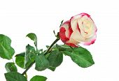 foto of red rose flower  - One beautiful rose with dew isolated on white background - JPG