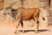 picture of eland  - Eland Antelope on a sandy hot environment - JPG