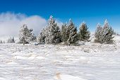 Small Spruce Trees Forest In Winter Mountain, Wintry Wonderland Landscape With Copy Space, Vitosha N poster