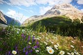Field of daisies and wild flowers with Rocky Mountains in background