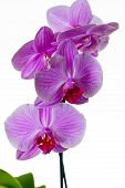 picture of lilas  - Little lila orchid on a white background - JPG