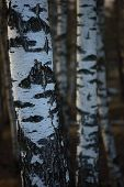 Birch Tree Grove Trunks Bark Closeup Background, Large Detailed Vertical Birches March Landscape Sce poster