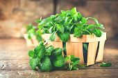 Mint. Bunch of Fresh green organic mint leaf on wooden table closeup. Selective focus. Peppermint in poster