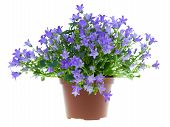 image of pot plant  - campanula flowers isolated on white blue bell - JPG