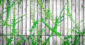Green Ivy Climbing On Wood Fence. Creeper Plant On Gray And White Wooden Wall Of House. Ivy Vine Gro poster
