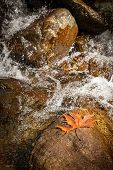 A Fallen Orange Maple Leaf Lies On A Stone In The Middle Of A Mountain River. Autumn Landscape. Moun poster