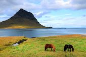 Icelandic horses in front of Kirkjufell Mountain, Iceland, Europe poster