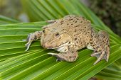 Image Of Chinese Edible Frog, East Asian Bullfrog, Taiwanese Frog (hoplobatrachus Rugulosus) On The  poster