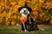 Golden Retriever Dog Posing For Halloween In A Costume poster