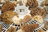 pic of morchella mushrooms  - Morel mushrooms on a drying rack ready to be dried and stored for later use.