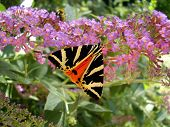 image of butterfly-bush  - Jersey Tiger Butterfly  - JPG