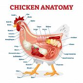 Chicken Anatomy Vector Illustration. Labeled Biological Inner Organs Scheme. Zoological Graphic With poster