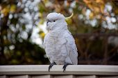 Sulphur-crested Cockatoo Seating On A Fence. Urban Wildlife. Australian Backyard Visitors poster