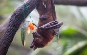 Fruit Bat Also Known As Flying Fox With Big Leather Wings Hanging Upside And Down Eating Juicy Orang poster