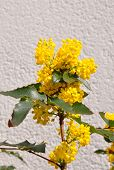 stock photo of aquifolium  - Colorful and crisp image of mahonia  - JPG