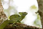 picture of negro  - Male Emerald Basilisk beautiful and ornate crested lizard perched on a tree Cano Negro Costa Rica - JPG
