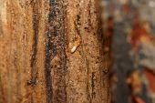 image of ant-eater  - Macro image of carpenter subterranean termite - JPG