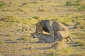 stock photo of animals sex reproduction  - Mating lions Amboseli national park Kenya Africa - JPG