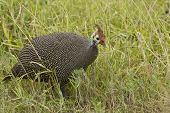 stock photo of guinea fowl  - Guinea fowl walking through the long grass looking for food