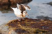 stock photo of mew  - Closeup of a sea gull or mew - JPG