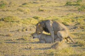 picture of coitus  - Mating lions Amboseli national park Kenya Africa - JPG
