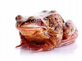 foto of pet frog  - Common frog - JPG