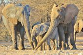 stock photo of tusks  - Three generations of African Elephants join trunks as they smell Camel thorn tree pods on the ground - JPG