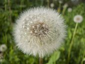picture of spores  - White Dandelion with spores on the green background - JPG