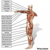 picture of triceps brachii  - Vector 3D male or human anatomy - JPG