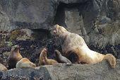 stock photo of stellar  - Stellar sea lions in Resurrection Bay - JPG