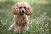 picture of apricot  - Funny cute apricot poodle on the grass - JPG