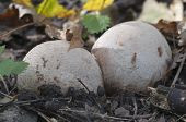 stock photo of phallus  - Phallus impudicus mushroom in an egg stage