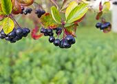 picture of chokeberry  - chokeberry berries on a tree in the garden - JPG