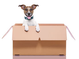stock photo of jack-in-the-box  - mail dog in a moving very big moving box - JPG