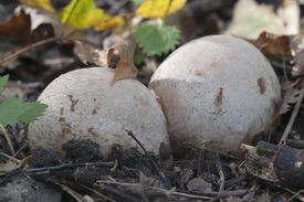 foto of phallus  - Phallus impudicus mushroom in an egg stage