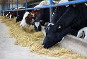 foto of dairy cattle  - Feeding cows on the dairy farm, cattle breading