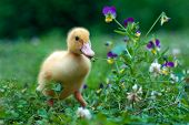 stock photo of ducks  - Photo of young pet duck eating grass - JPG