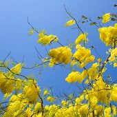 pic of cassia  - Cassia Fistula in clear blue sky - JPG
