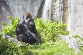 pic of lowlands  - Western Lowland Gorilla Relaxing in the Grass - JPG