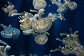 pic of jellyfish  - A Lagoon Jellyfish swimming in its aquarium with friends.