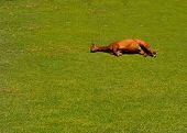 Image Of a pregnant Horse Lying down in the grass