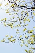stock photo of dogwood  - Fresh leaves and branches of dogwood (Cornus florida) and sunlight