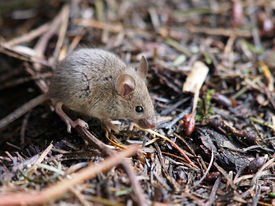 image of field mouse  - A little mouse in the forest looking for food - JPG
