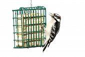pic of woodpecker  - Downy Woodpecker  - JPG
