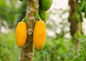 stock photo of pawpaw  - close up fresh papayas hanging from the tree - JPG